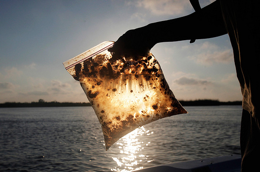 A man holds a plastic bag with seawater and oil from the Gulf of Mexico oil spill south of Freemason Island, Louisiana May 7, 2010. (REUTERS/Carlos Barria)